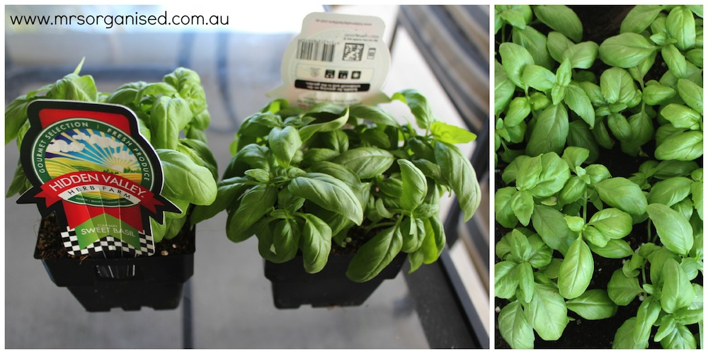 Grow Your Own Basil and Save 002